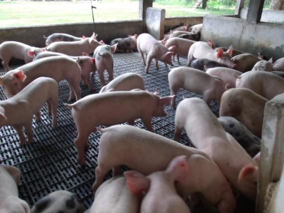 Sanidade de suínos – Idaron em alerta
